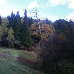 立ち枯れの松の木