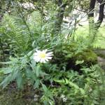 野菊が咲き始めた