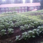 我が家のジャガイモ畑